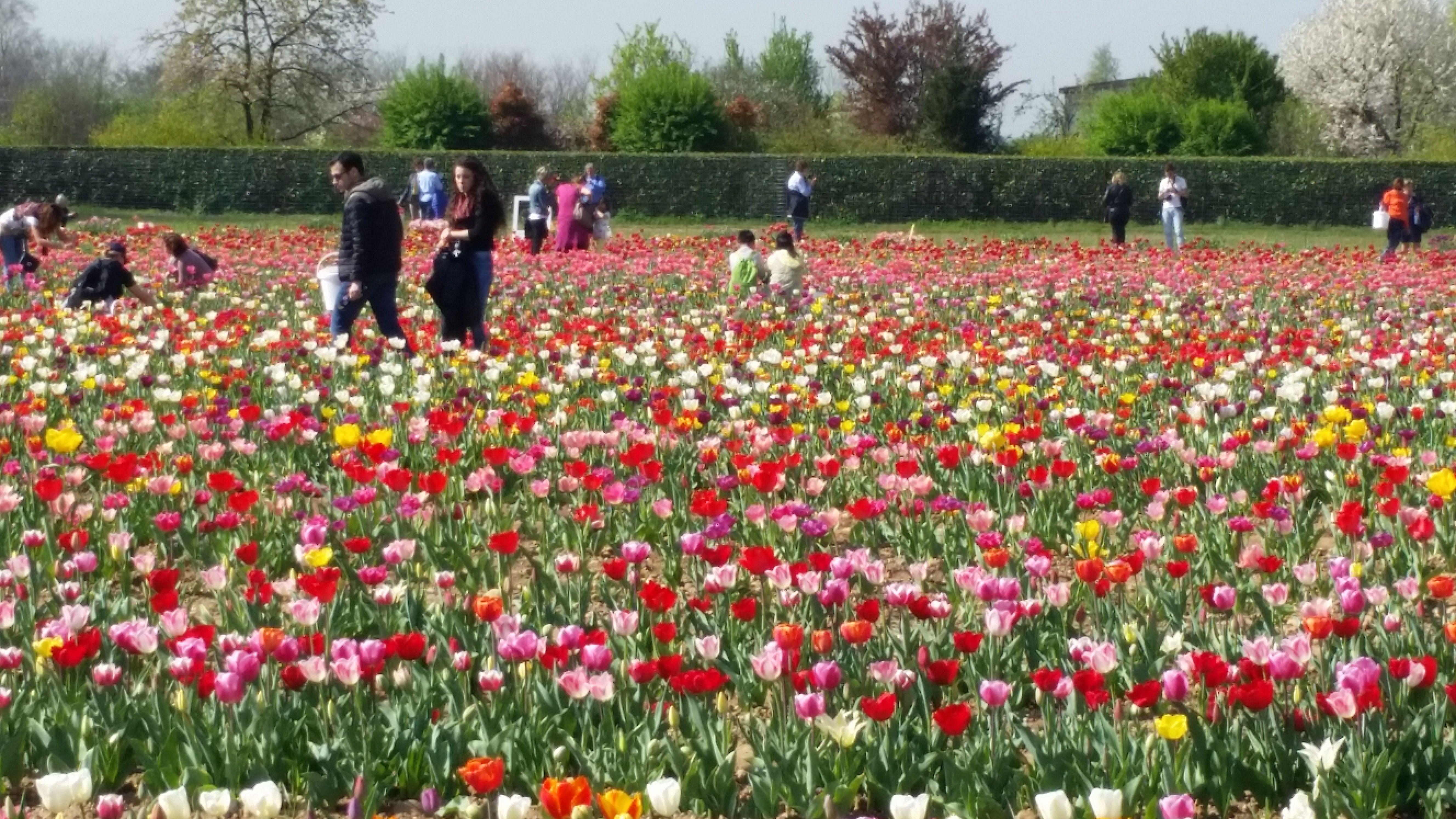 A cornaredo da tutta la lombardia per i tulipani radio for Tulipani italiani