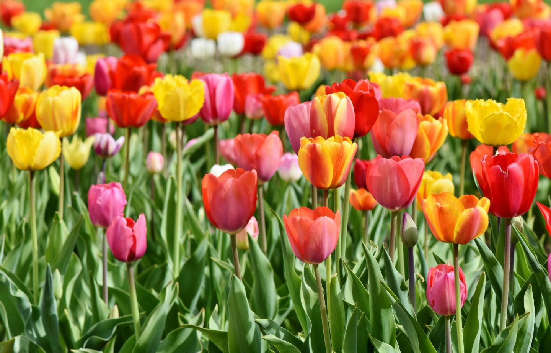 Piantare I Bulbi Di Tulipani un campo di tulipani a paderno dugnano | radio lombardia